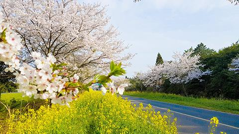 Travel Jeju along its blossoming paths <Springtime in Jeju is always fragrant> 대표이미지